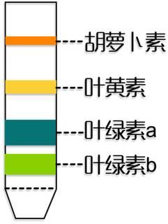 酸性的细胞液就会接触到叶绿体中的色素,致使叶绿素的分子结构遭到图片